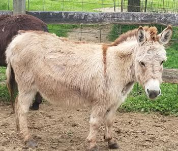 Bainbridge's Longears Acres | Miniature Donkeys Available For Sale